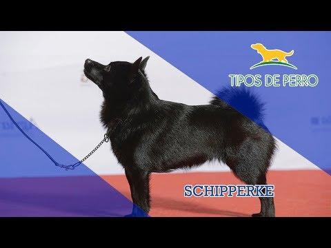 SCHIPPERKE - TIPOS DE PERRO