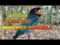 Masteran Tengkek Buto Gacor Durasi Panjang  Mp3 - Mp4 Download
