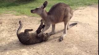 猫の頭をグリグリして相当嫌がられたカンガルー
