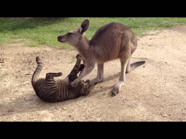 Kangaroo and cat playing