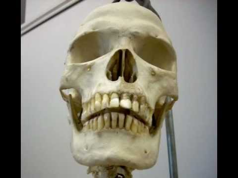 human skeleton, full, complete, class a skull - real bone - youtube, Skeleton