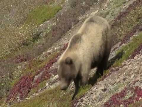 Grizzly, North West Territory, Canada