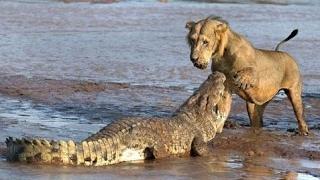 ライオンVsライオン、トラ、バッファロー、クロコダイルが死に至る ライ...