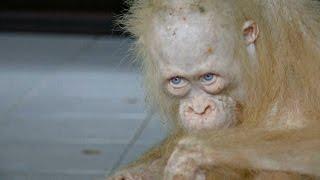 Спасённый в Индонезии орангутан альбинос выздоравливает новости