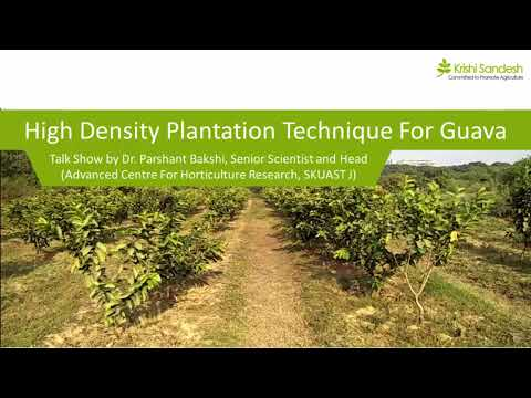 Get High Income Returns with High Density Plantation - Technique of High  Density Guava Plantation