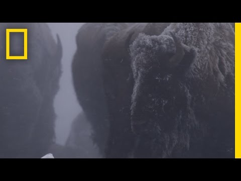 Bison in Harsh Winter | Untamed Americas