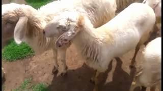 Hậu trường chụp ảnh cưới (Đàn cừu - Hồ Cốc) - Lucky Anh&Em