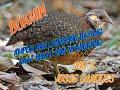 Suara Pikat Puyuh Hutan Puyuh Gonggong Pikat Nyanggong Puyuh  Mp3 - Mp4 Download