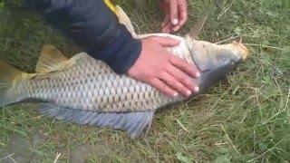 Сазан 5,4кг.  рыбалка. в забайкальском крае Чита Carp Fishing 5,4kg