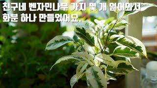 [키우기 쉬운 식물]무늬벤자…