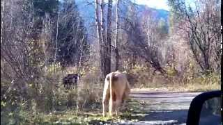 HEY LOOK COWS Canadian Whistler Hot Springs Area BC Canada 102 5446 Eh TV