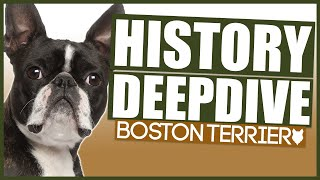 BOSTON TERRIER HISTORY DEEPDIVE