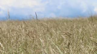 Download Video Wind in The Grass, Crickets, Birds / Relaxing Sound Of Wind MP3 3GP MP4
