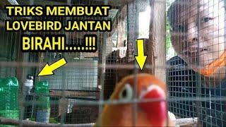 Download lagu CARA MEMANCING BIRAHI LOVEBIRD SUPAYA KAWIN DENGAN SUARA TIRUAN