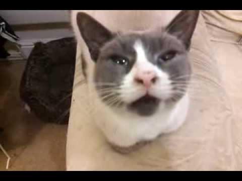 LuLu Talking She is an American Snowshoe, funny cat