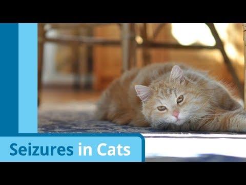 Causes And Symptoms Of Cat Seizures