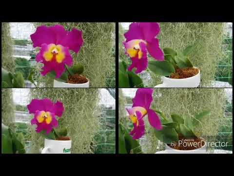 Cách tách hướng và trồng lan cattleya vào chậu from YouTube · Duration:  21 minutes 43 seconds