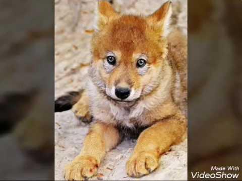 Los Lobos Mas Hermosos De Mundo Youtube