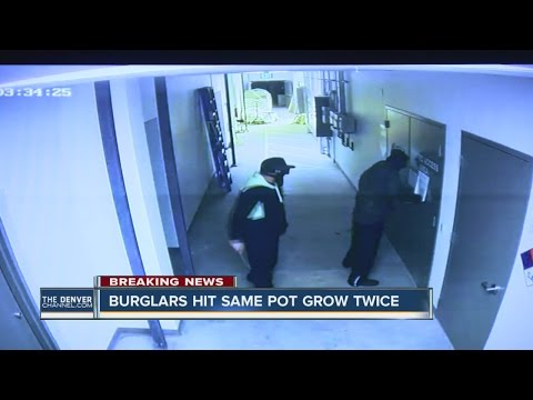 Denver marijuana grow hit by burglars twice in 4 days