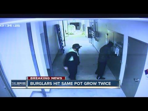 Denver Marijuana Grow Hit By Burglars Twice In 4 Days