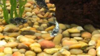 Fish Of The Day Ep.13 Dalmatian Sailfin Molly