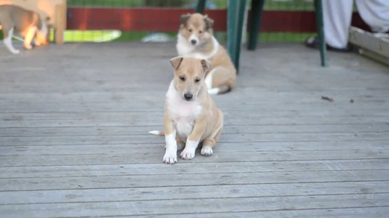 Smooth Collie PUPPIES - 5 weeks