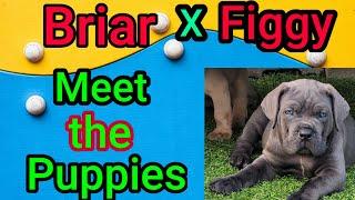 Briar x Figgy Cane Corso puppy evaluations