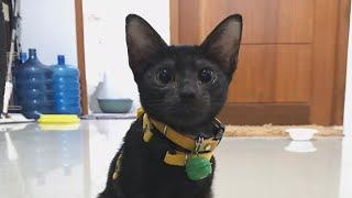 Very cute Japanese Bobtail Kitten
