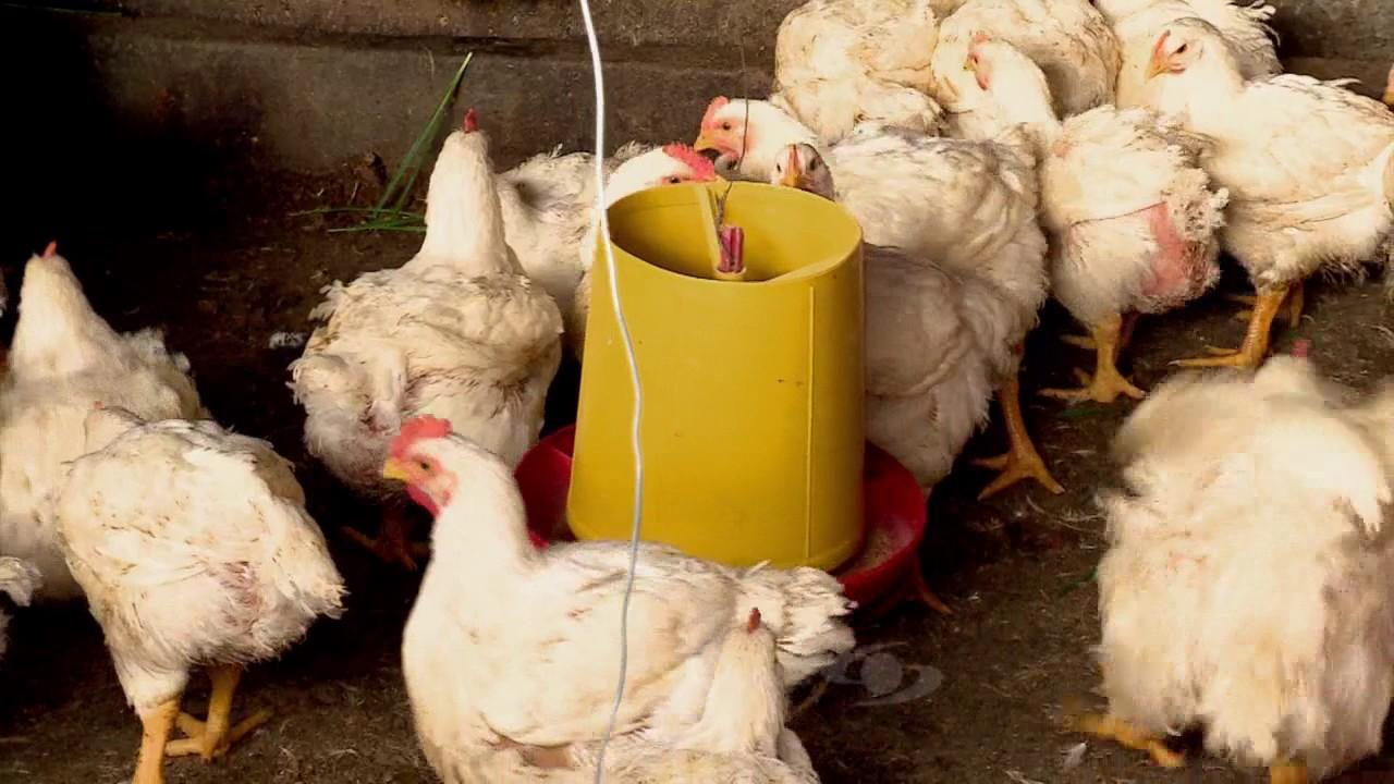 Medicamento para la ronquera en gallos