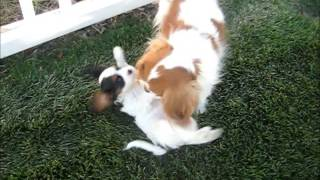 Chloe - Adorable Akc Champion-lines Cavalier King Charles Spaniel Puppy.wmv