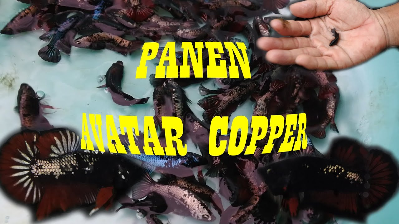 Panen Ikan Cupang Avatar Copper - YouTube