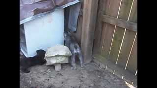 Miniature Schnauzer And Boykin Spaniel Puppy Rabbit Hunting