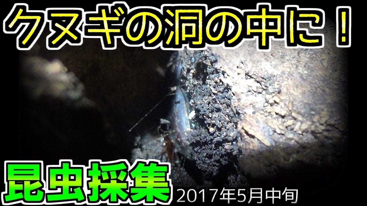 【カブトムシ・クワガタ】 昆虫採集 2017年5月中旬