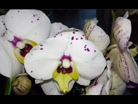 Шикарный завоз сортовых орхидей С.Ц. Зелёный город, ул. Яна Фабрициуса, 48, моя новиночка.