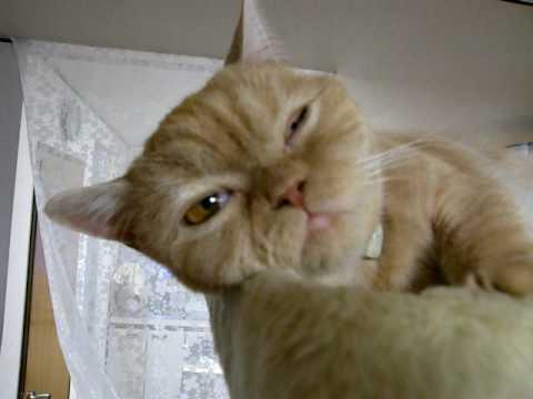 超眠い猫 - YouTube