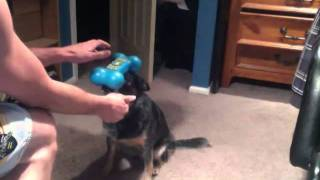 Miah The Blue Heeler Doggy Toy Trick