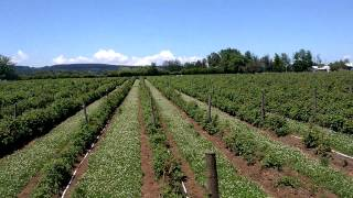Proyecto con cinta exudante a baja presión en 1,3 ha. de frambuesas organicas INDAP-San Carlos