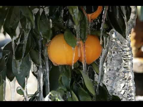 How Do I Care For A Navel Orange Tree