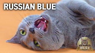 Most Lazy Russian blue Cat EverㅣDino cat