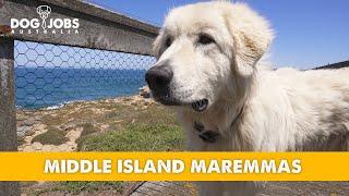 DOG JOBS AUSTRALIA  S01E01  Middle Island Maremmas