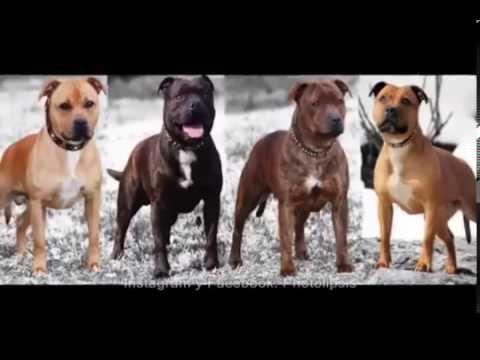 Historia de los Perros Pitbull