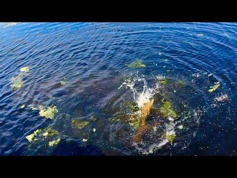 Alligator Attacks Swimbait On Lake Panasoffkee Florida.