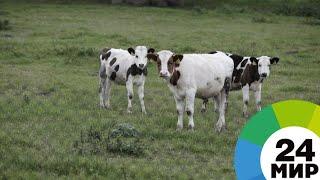 В Таджикистане разводят «благородных» коров - МИР 24
