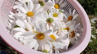 집에서 직접 곶감 만들기. 구절초 꽃차 만들기 도전.