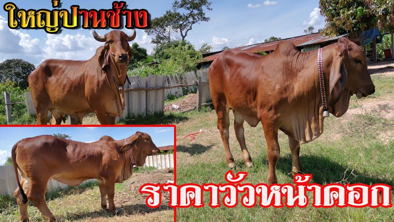 #เปิดราคาวัวหน้าคอก  วัวงามลูกกระทบ วัวแม่ลูก CY096 สวยๆ ประกันท้อง ราคาต่อรองได้เยอะ จ.ร้อยเอ็ด