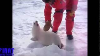 Baby Seal - Yavru Fok balığı