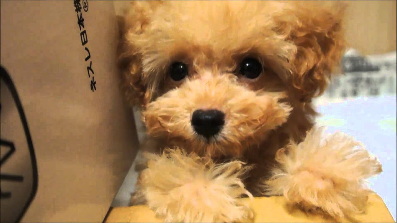 Baby teacup poodle came to the house for the first time ...  Baby teacup poo...