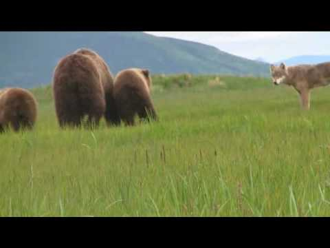 Wolf and Grizzly: Wolf stalks and teases grizzly sow and cubs, Katmai Alaska