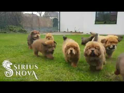 Happy tibetan mastiff puppies catching their master
