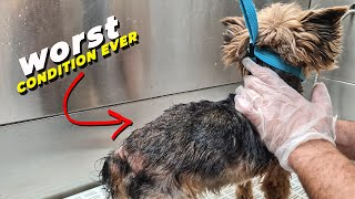 YORKSHIRE TERRIER IN A REALLY BAD CONDITION   GroomingTransformation   Pet   Dog Grooming   The Dog